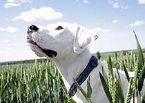 Hund achtet auf seinen Menschen