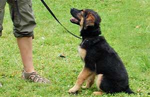 Hund lernt auf Signal den Menschen anzuschauen