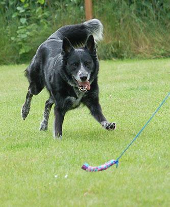 Hund jagt Beute