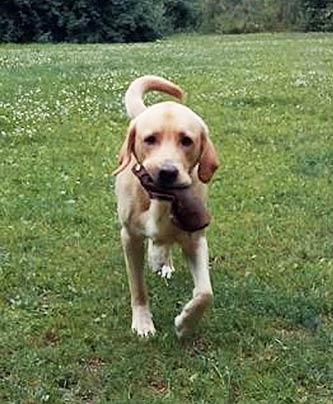 Labrador Sam beim Apportiertraining