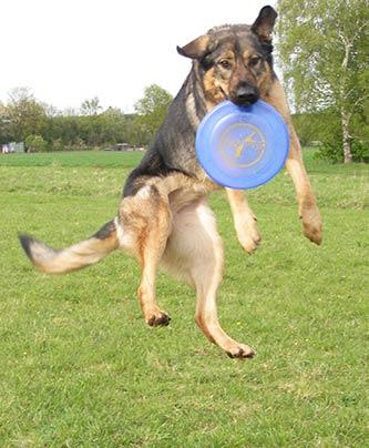 Hündin Aquila mit Frisbee in der Luft