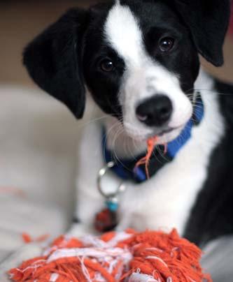 Junghund zerbeisst Spielzeug