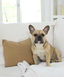 französische Bulldogge auf der Couch