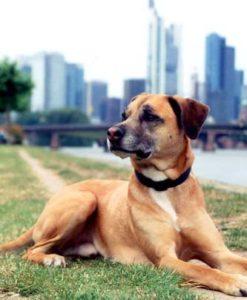 Hund Budges in Frankfurt mit Skyline