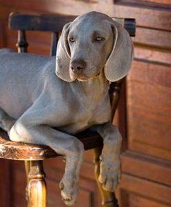 Weimaraner liegt auf einem Stuhl