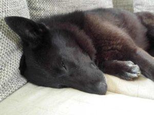 Pflegehund auf der Couch