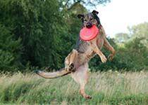 Hund fängt Frisbeescheibe